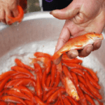 Holy mackerel! Village readies red carps for the Kitchen Gods – VnExpress International