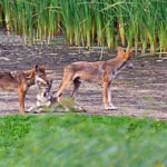 DNA from extinct red wolves lives on in some mysterious Texas coyotes
