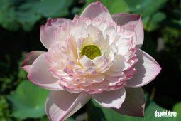 Giống hoa sen lớn nở ra hàng trăm đến cả ngàn cánh hoa của một người chơi sen tại Quảng Nam đang thu hút sự chú ý của người yêu sen.